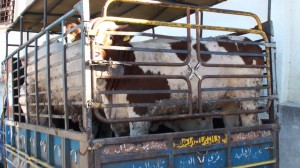 transport EU beef cattle exported to Lebanon (Kopírovat)